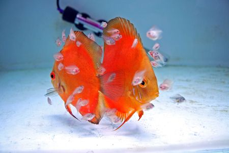 discus fish: A pair of Marlboro Orange Discus Fish with babies feeding from them. Stock Photo