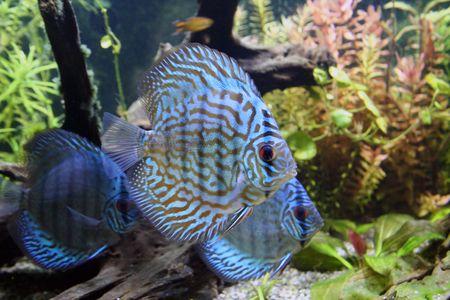 Three Blue Discus Aquarium Fish in a freshwater planted tropical aquarium photo