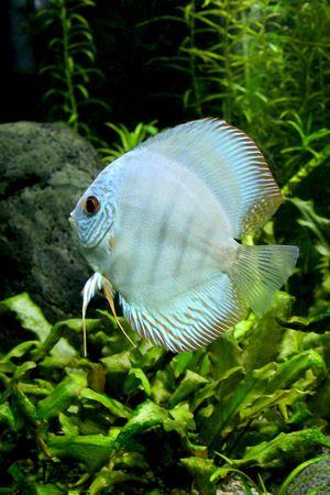 aequifasciatus: A portrait of a Blue Diamond Discus Fish- Symphysodon Aequifasciatus in a planted tropical freshwater aquarium