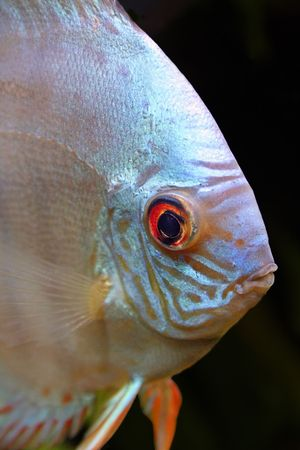 aequifasciatus: An isolated head shot of a Blue Diamond Discus Fish - Symphysodon Aequifasciatus on a black background