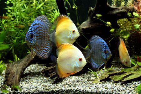 pez disco: Azul y Naranja Disco Peces - Symphysodon Aequifasciatus en un acuario tropical de agua dulce