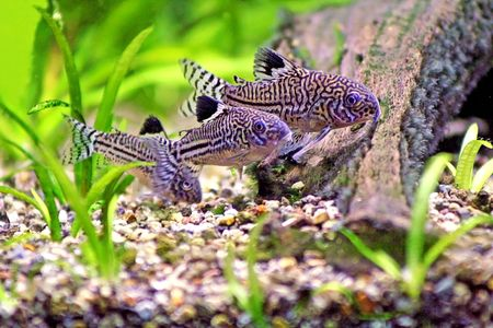 biotype: Three Corydoras Trinilleatus Catfish swimming in a planted tropical aquarium.  Space for copy.