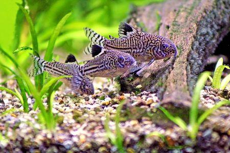 bagre: Tres Corydoras Trinilleatus Bagre nadar en un acuario tropicales plantados. Espacio para la copia. Foto de archivo