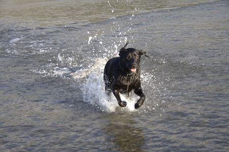 A Black Labrador dog running through the sea at the beach.  Space for copy. Stock Photo - 6447761