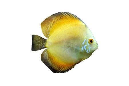 aequifasciatus: Orange Discus Tropical Aquarium Fish isolated on a white background
