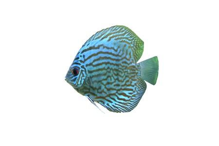 peces de acuario: Blue Discus Tropical Aquarium Fish aislado en un fondo blanco