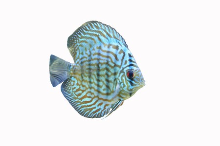 A Blue Discus Tropical Aquarium Fish isolated on a white background photo