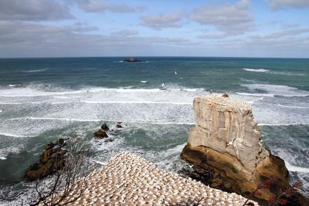 Otakamiro Point Gannet colony at Muriwai Beach, Auckland, New Zealand photo