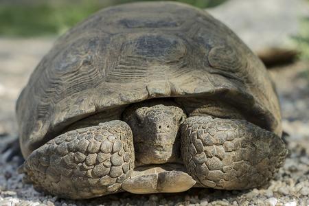 Desert Tortoise Hiding in His Shell