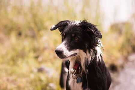 Border Collie Outside With A Collar On