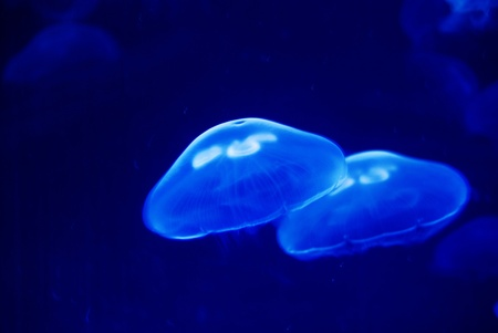 Jellyfishes - floating around in front of a deep blue background photo