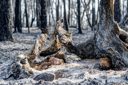 scorched: Bizarre sculptures out of scorched trees are left behind by tragic wildfires in Catalonia in the municipality of Llers