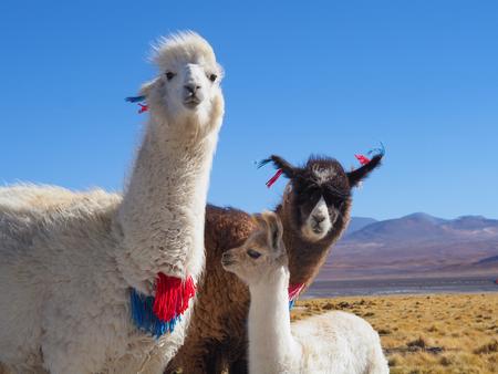 Alpaca family at Laguna Colorada, Uyuni, Bolivia