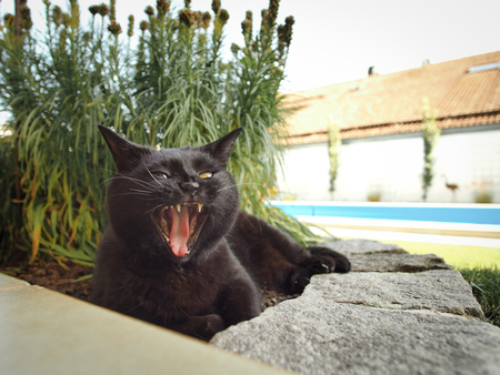 Black cat gaping