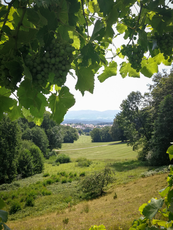 View over the bavarian forest through a grape plant Imagens