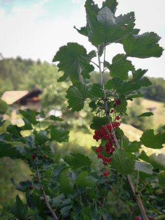 Currant fruits in bavarian forest