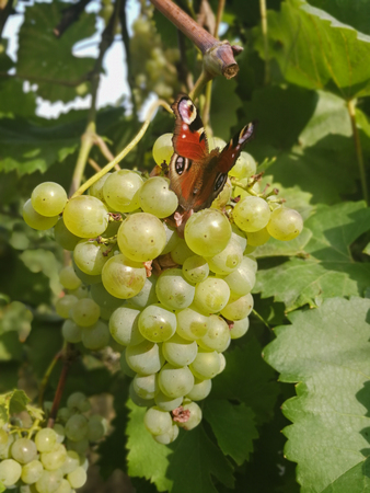 Peacock butterfly sitting on grapes