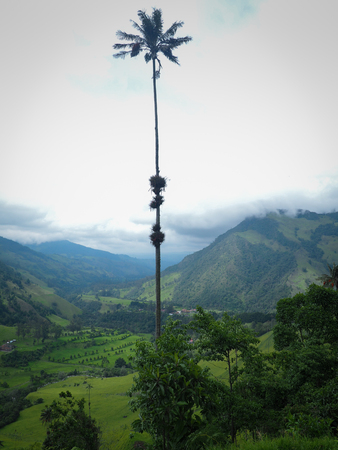 Cocora Valley with magnificent wax palms in Colombia
