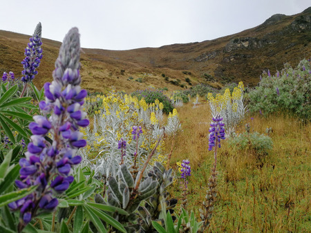 Flowers in the Sierra Nevada del Cocuy, Colombia