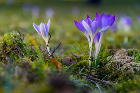Purple crocus on a meadow Reklamní fotografie