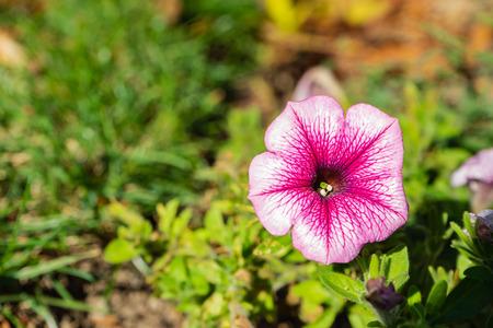 Maurentan mallow closeup beautifull color Stock Photo