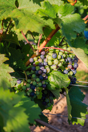 Close-ups of grapes in a vineyard. Stock Photo