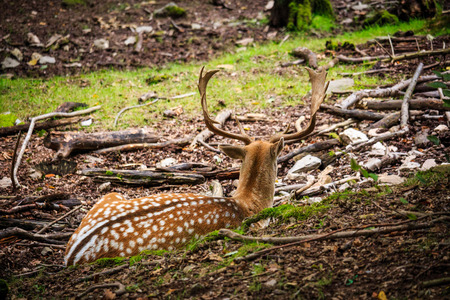 whitetailed: Deer with large antler sits on the forest floor. Stock Photo