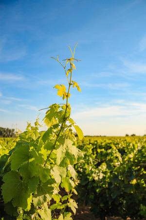 Vineyards in the sunlight. Stock Photo