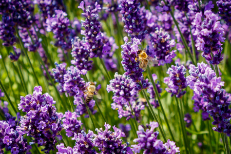 Bees fly between purple lavender in summer.