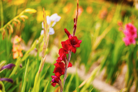 Gladiolus on the wide flower field in golden sunshine.