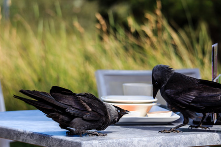 Black ravens steal food from the table.