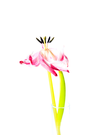 Artisitic, withered tulip flower with white background