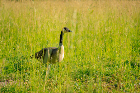 Wild goose in the tall grass.
