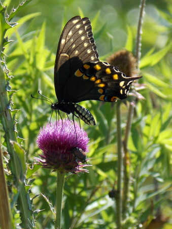 nebraska: Black Swallowtail butterfly probing for nectar in a purple musk thistle flower blossom infested with Japanese beetles.