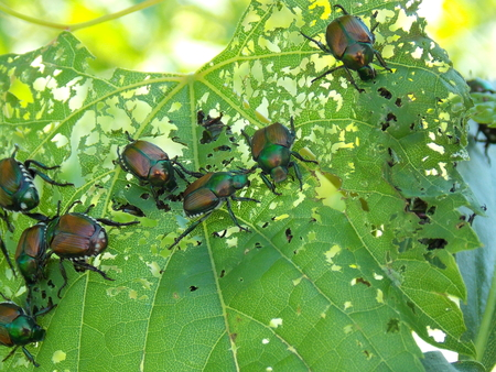 Japanese beetle infestation skeletonizing plant leaf.