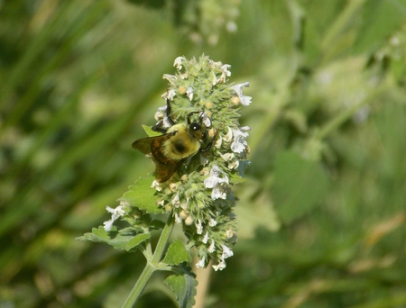 Bumblebee hunting for nectar in catnip flower blossoms.