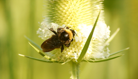 Bumblebee probing for nectar in a white teasel wildflower. Stock Photo