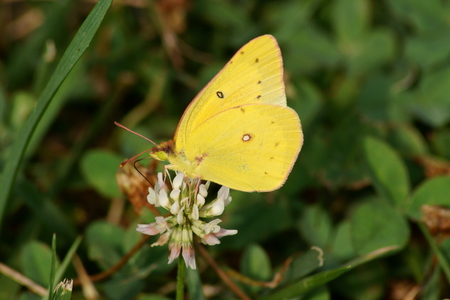 Yellow clouded sulphur butterfly feeding on a white clover wildflower.