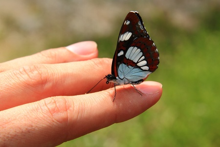 A white and brown butterfly resting on the finger of a hand