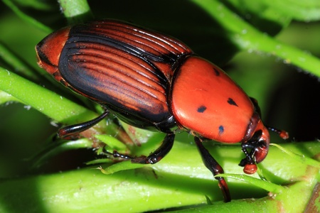 The red palm weevil is an asian beetle who is devastating hundreds of palms in the mediterranean area