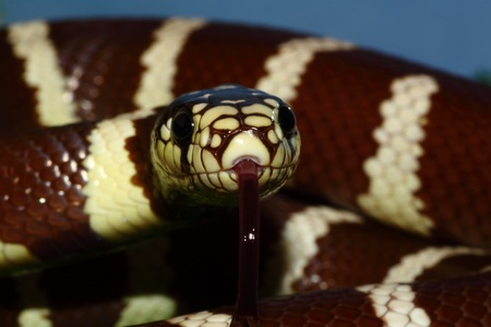 A california kingsnake in a defensive position is ready to attack photo