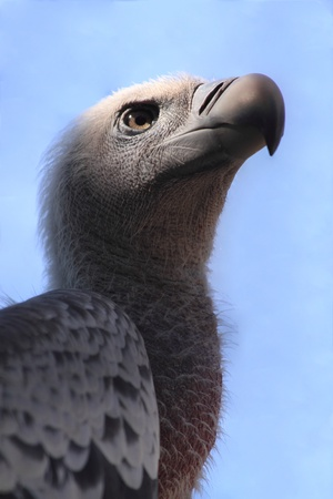 A closeup view of a Cape Griffon, an African Vulture (Gyps coprotheres) photo