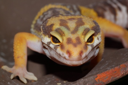 insectivores: Portrait of a leopard gecko