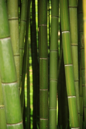 An intricate forest of green canes of bamboo Stock Photo