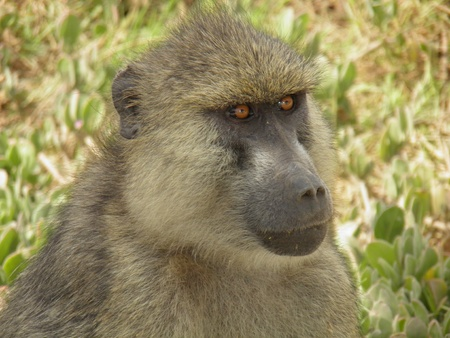Portrait of a yellow baboon, a large African monkey