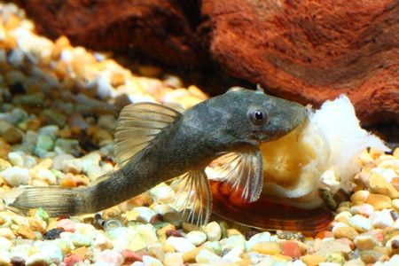 A fish (genus ancistrus) is eating a snail