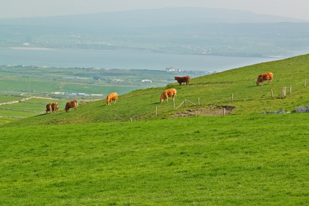 Cows grazing in a meadow green Irish