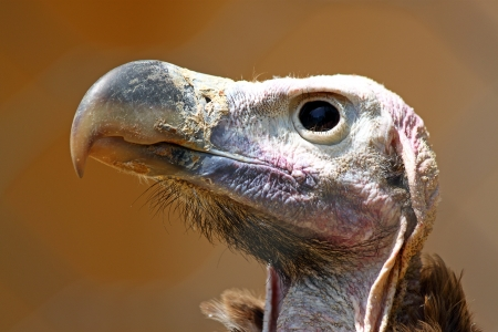 bald ugly: Closeup of the bald head of a vulture Stock Photo