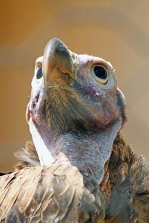 Closeup of the bald head of a vulture photo