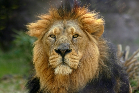 An adult male lion (Panthera leo) with his long mane